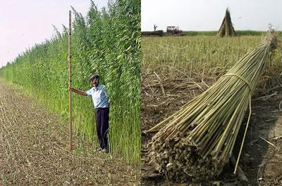 hemp-fields