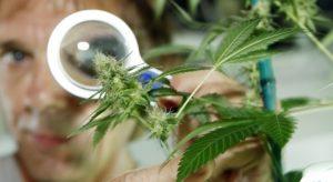 Marihuana używana