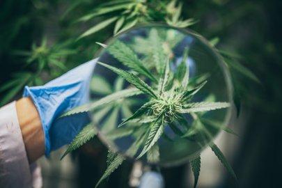 medyczna marihuana a rekreacyjna marihuana