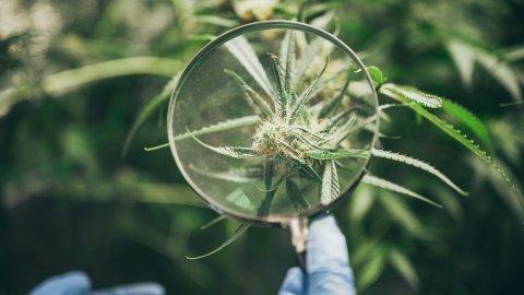 Jak rozpoznać zanieczyszczenia w marihuanie?