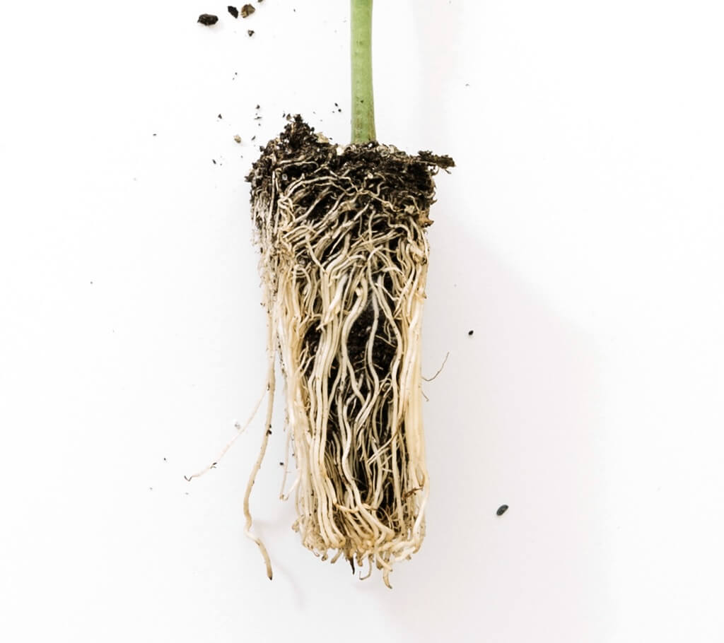Jak poprawić system korzeniowy swoich roślin.