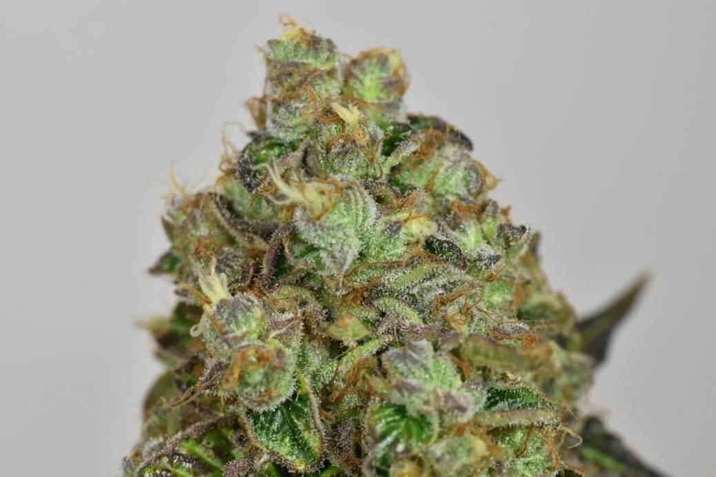 folk choco loco wolne konopie nasiona marihuany